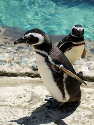 Travel | The Penguin Exhibit Opens at the Aquarium of the Pacific