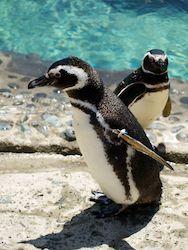 Travel   The Penguin Exhibit Opens at the Aquarium of the Pacific