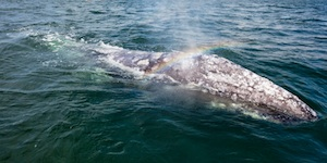 Family | TRAVESĺA: JOURNEY OF THE GRAY WHALE